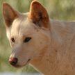 Отец спас годовалого ребёнка от стаи диких собак динго