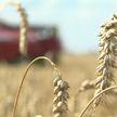 Больше миллиона тонн зерна! Небывалый урожай собрали в Витебской области впервые за много лет
