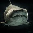 Акула незаметно подплыла к мальчику на мелководье и напала на него
