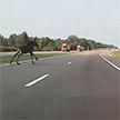 Лось выскочил на дорогу прямо перед автомобилем (ВИДЕО)