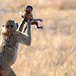 Обезьяна повторила трогательную сцену из мультфильма The Lion King, подняв своего детёныша