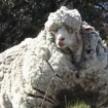 В Австралии умерла самая заросшая овца в мире