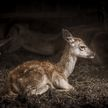 Маленькие Бэмби: мужчина спас трех оленят от смерти на замерзшем озере в Канаде