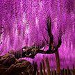 Невероятной красоты «дерево» вот уже 150 лет радует жителей Японии
