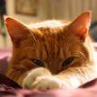 Кот притворился больным, а потом прокололся. Посмотрите – 100% будете смеяться! (ВИДЕО)