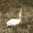 Школьники в Витебской области стреляли в лебедя из арбалета: птица погибла, родителям грозит штраф