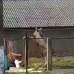 На территорию детского сада забрела молодая лосиха в Пинске