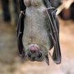 Биолог рассказал, в каких случаях летучие мыши могут заразить человека