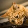 Кошка посмотрела на хозяйку, которая хромает, и начала за ней повторять. Посмотрите – это удивительно! (ВИДЕО)
