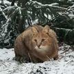 Новый житель в Минском зоопарке – камышовая кошка Катя