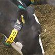 5G применяют для дойки коров в Великобритании