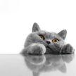 Кот падает в обморок, чтобы получить корм. Посмотрите, это невероятно! (ВИДЕО)