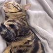 «Мне послышалось «Не-е-ет!». Кот притворился спящим, чтобы не мыться (ВИДЕО)