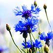 Как посадить семена однолетников, чтобы цвели все лето? Показывает научный сотрудник ботанического сада