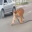 В Иваново тигр выбежал на проезжую часть (ВИДЕО)