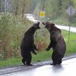 Два свирепых медведя гризли устроили драку на шоссе в Канаде (ВИДЕО)