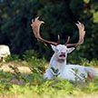 Чихающий олень-альбинос попал в объектив фотографа