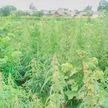 200 килограмм дикорастущей конопли нашли в Каменецком районе