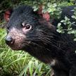 28 тасманийских дьяволов, выпущенных на австралийский остров, менее чем за 10 лет уничтожили 6 тысяч пингвинов и всю популяцию буревестников