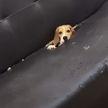 Щенок испортил диван, чтобы сделать из него идеальное укрытие