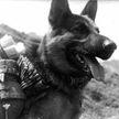 Четвероногие герои: как собаки спасали людей во время Великой Отечественной войны