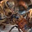 Пчёлы спасли товарища от смерти