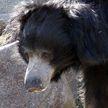 Самый опасный медведь в мире ранил пять человек и сбежал