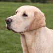 Ревнивый лабрадор: в США собака подстрелила попутчицу хозяина из пистолета