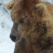 Самый толстый медведь обошел конкурентов благодаря уникальной технике ловли рыбы