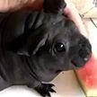 Китаец купил маленького пса, оказавшегося вовсе не собакой