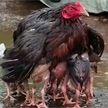 Трогательное видео: курица спрятала цыплят от дождя под своим крылом