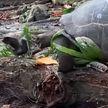 Черепаху впервые в истории засняли поедающей другое животное. До этого ее считали травоядной