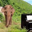 Музыкант исполнил пьесу Баха слепой слонихе в Таиланде (ВИДЕО)