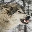 «Просто бросается и рвёт сразу!». Очевидцы рассказали жуткие подробности нападения волка в Столбцовском районе