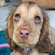 Кокер-спаниель с «диснеевскими» глазами родился в Великобритании