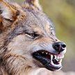 Волчица покусала мужчину в Лоевском районе