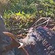 Лось погиб на польско-белорусской границе – животное запуталось в проволоке