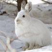Зайцы-беляки устроили драку (ВИДЕО)