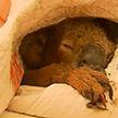 В Австралии популяция коал оказалась под угрозой из-за лесных пожаров
