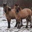 Дикие лошади в Налибокской пуще выгрызают старую траву. Посмотрите, какие они упитанные!