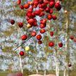 Сроки сбора брусники и клюквы установлены в Могилевской области
