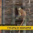 В Гродненском зоопарке поселились красные мартышки