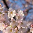 В Японии зацвела сакура: в этом году это произошло на пять дней раньше, чем в прошлом