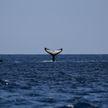 Самка кита с детенышем подплыли прямо к австралийским серферам (ВИДЕО)