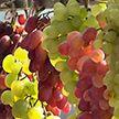 Пинск примет выставку-ярмарку «Янтарная гроздь винограда» 12 сентября