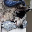 Пострадавшей в ДТП собаке помощь оказала девушка-очевидец