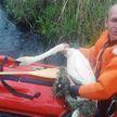 Лебедь запутался в рыболовных сетях в Сенненском районе: ему помогли спасатели