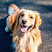 Собака в США пришла в другой штат, соскучившись по старому дому