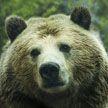 В Якутии 84-летняя женщина перерычала напавшего на нее медведя