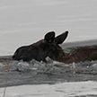 Лось провалился под лёд в Мядельском районе: спасатели помогли ему выбраться